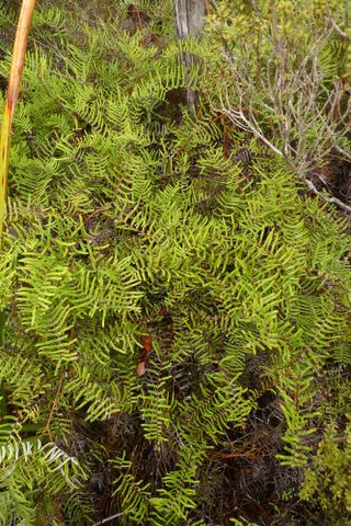 Pitted tangle fern, Gleichenia inclusisora Perrie et al.
