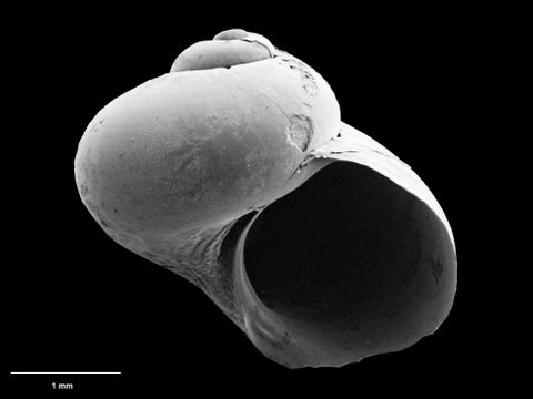 To Museum of New Zealand Te Papa (M.075277; Dillwynella haptricola B. Marshall, 1988; holotype)
