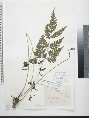 Sweet fern, Pteris macilenta A.Rich.; syntype of Pteris pendula Colenso
