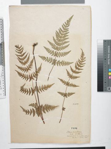 Water fern , Histiopteris incisa (Thunb.) J.Sm.; syntype of Pteris montana Colenso