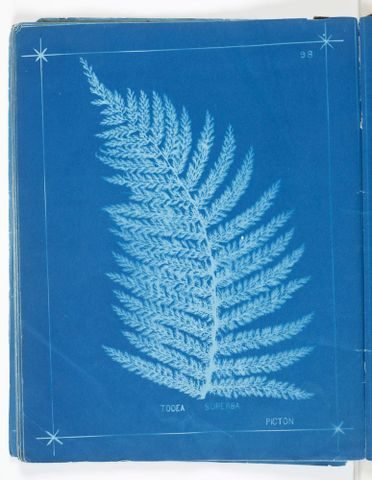 Herbert Dobbie, Todea superba, Picton [Prince of Wales feathers fern, heruheru, now Leptopteris superba], cyanotype print. Gift of Joyce Bonnington, 2012. Te Papa (O.039668)