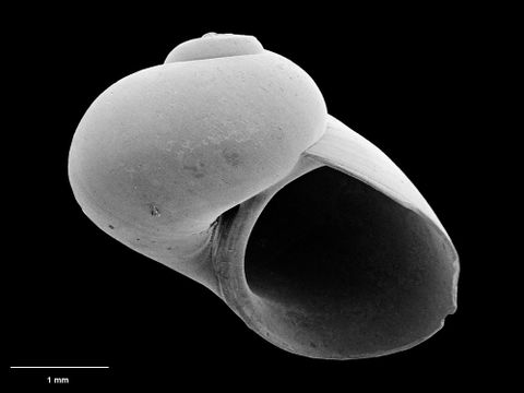 To Museum of New Zealand Te Papa (M.117521; Acremodontina magna B. Marshall, 1995; holotype)