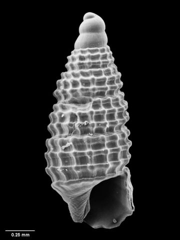 To Museum of New Zealand Te Papa (M.051716; Synthopsis regia B. Marshall, 1978; holotype)