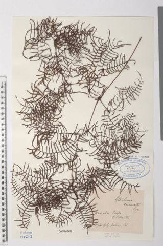 Carrier tangle, Gleichenia microphylla R.Br.; syntype of Gleichenia patens Colenso