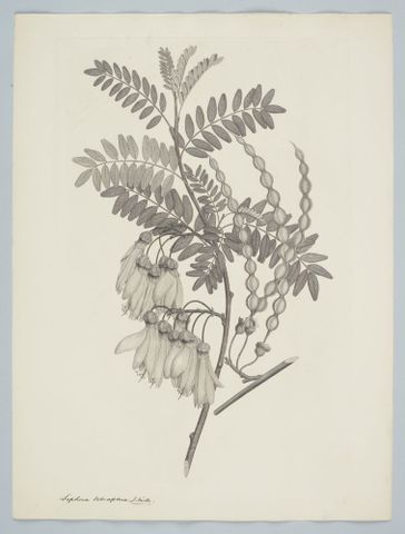 Engravings of New Zealand plants
