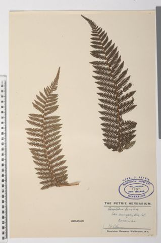Smith's tree fern, Cyathea smithii Hook.f.; syntype of Hemitelia microphylla Colenso