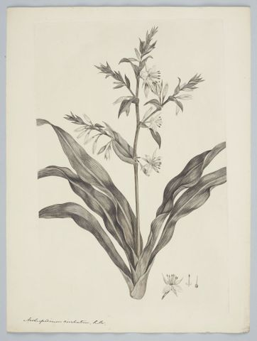 Arthropodium cirratum (G. Forster) R. Brown ex Sims