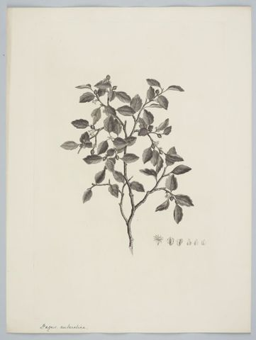 Engravings of plants from Tierra del Fuego