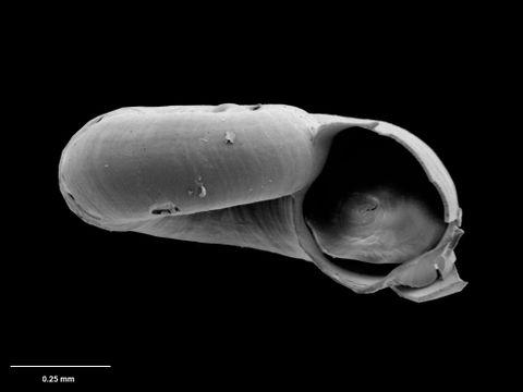 To Museum of New Zealand Te Papa (M.075122; Xylodiscula librata B. Marshall, 1988; holotype)