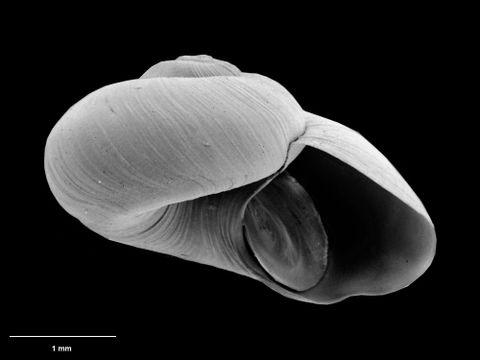 To Museum of New Zealand Te Papa (M.075117; Leptogyropsis kalinovoae B. Marshall, 1988; holotype)