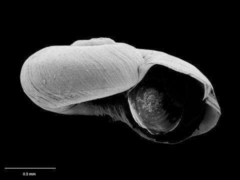 To Museum of New Zealand Te Papa (M.075116; Leptogyra patula B. Marshall, 1988; holotype)
