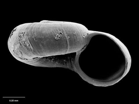 To Museum of New Zealand Te Papa (M.075123; Xylodiscula eximia B. Marshall, 1988; holotype)