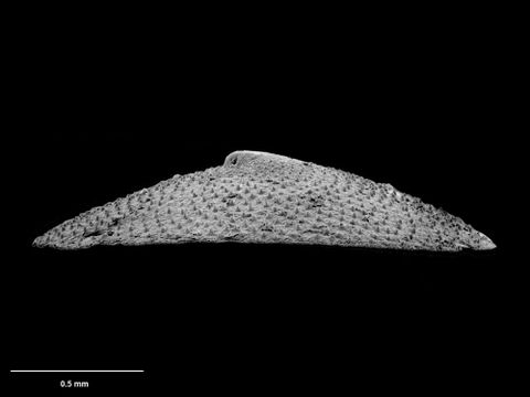 To Museum of New Zealand Te Papa (M.075104; Caymanabyssia rhina B. Marshall, 1986; holotype)