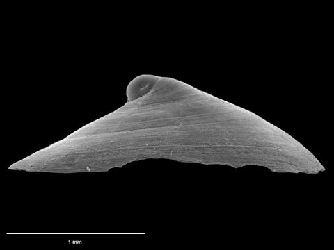 To Museum of New Zealand Te Papa (M.075020; Cocculinella osteophila B. Marshall, 1983; holotype)