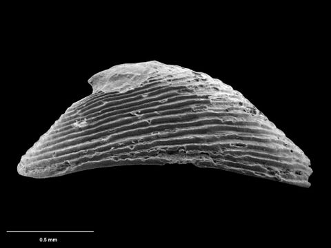 To Museum of New Zealand Te Papa (M.075108; Colotrachelus hestica B.A. Marshall, 1986; holotype)