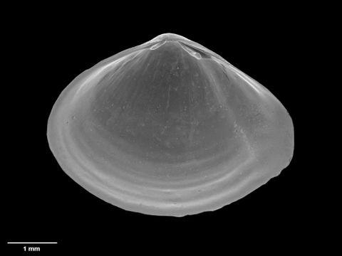 To Museum of New Zealand Te Papa (M.152685; Rhinoclama brooki B. Marshall, 2002; holotype)