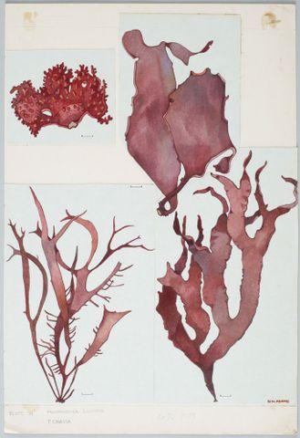 Red Seaweed - Halymeniaceae - Pachimenia lusoria and P. crassa. Adams, Nancy. Purchased 2007. © Te Papa.