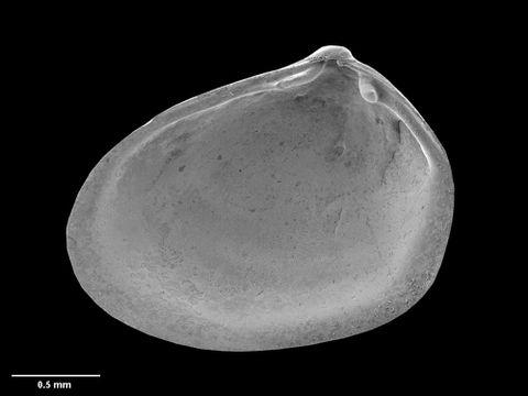 To Museum of New Zealand Te Papa (M.152680; Grippina acherontis B. Marshall, 2002; holotype)