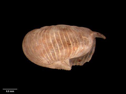 To Museum of New Zealand Te Papa (M.125204; Allodiscus wairoaensis Suter, 1894; syntype)