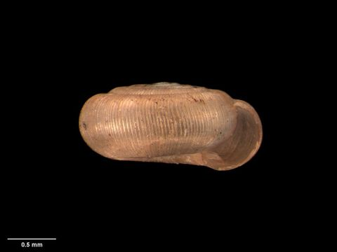 To Museum of New Zealand Te Papa (M.005715; Ptychodon (Solemia) delicatula Climo, 1978; holotype)