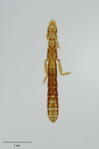 Kermadec petrel wing louse, Halipeurus kermadecensis (Johnston & Harrison, 1912); syntype of Lipeurus diversus excavatus Johnston and Harrison, 1912