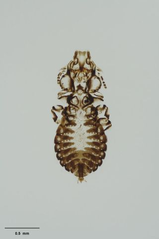 New Caledonian crow head louse, Philopterus palmai Price & Hellenthal, 1998; holotype
