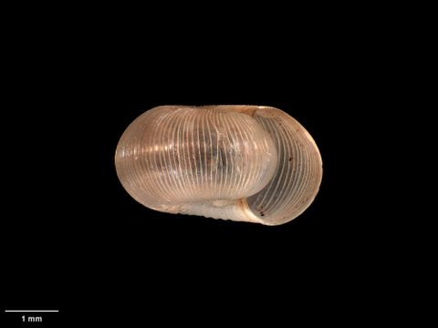 To Museum of New Zealand Te Papa (M.004067; Cavellia oconnori Dell, 1950; holotype)