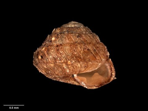 To Museum of New Zealand Te Papa (M.083464; Laoma pirongiaensis Suter, 1894; syntype)
