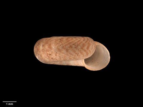 To Museum of New Zealand Te Papa (M.125155; Endodonta (Charopa) otagoensis Suter, 1899; syntype)