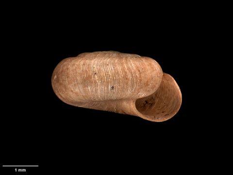 To Museum of New Zealand Te Papa (M.125185; Patula sterkiana Suter, 1891; syntype)
