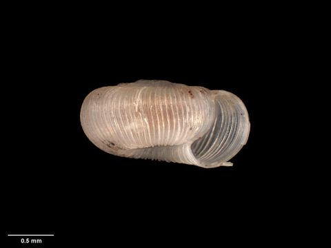 To Museum of New Zealand Te Papa (M.125202; Patula variecostata Suter, 1890; holotype)