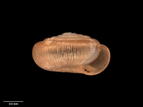 To Museum of New Zealand Te Papa (M.006155; Ptychodon monoplax takahea Dell, 1955; holotype)