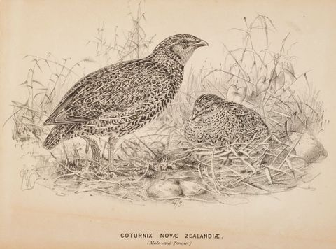 1992-0035-2392; The quail (male and female) Coturnix Novae Zelandiae; 1873; Keulemans, J. G. ; cropped (image/tiff)
