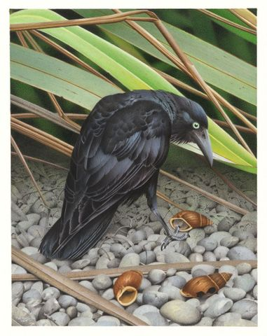 2006-0010-1/14; New Zealand Raven. Corvus antipodum. From the series: Extinct Birds of New Zealand.; Martinson, Paul;  Masterton (image/tiff)