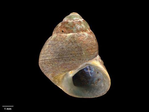 To Museum of New Zealand Te Papa (M.000208; Chrysostoma simulata Hutton, 1873; syntype)
