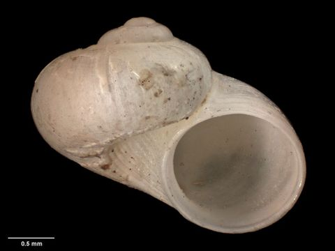 To Museum of New Zealand Te Papa (M.009756; Cirsonella propelaxa Dell, 1956; holotype)
