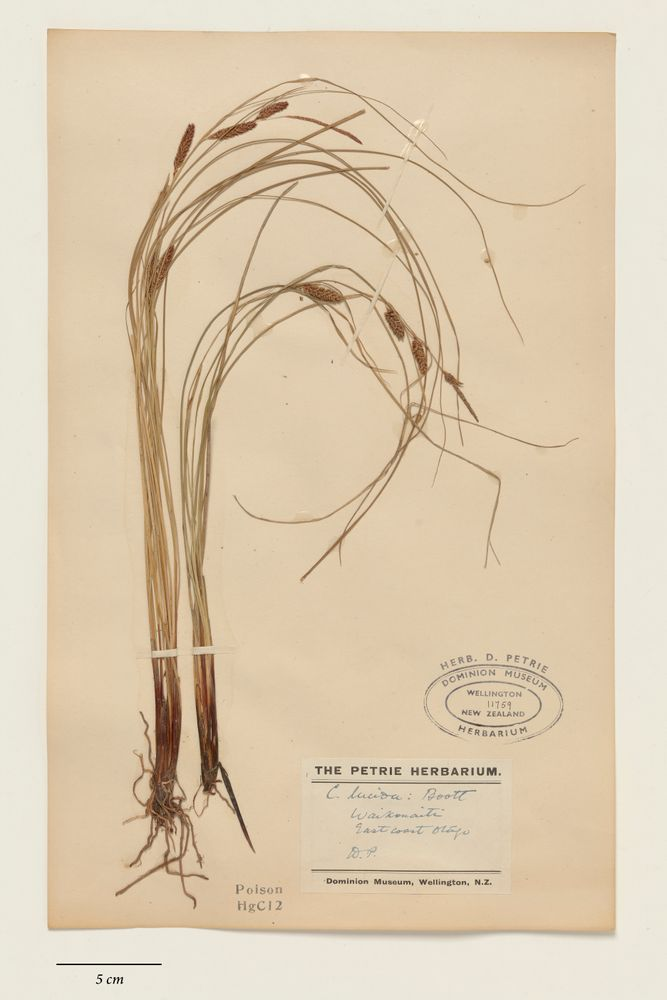 angiosperms, Carex flagellifera Colenso   Collections Online ...