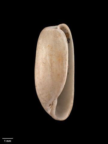 To Museum of New Zealand Te Papa (M.001095; Cylichna zealandica Kirk, 1880; syntype)