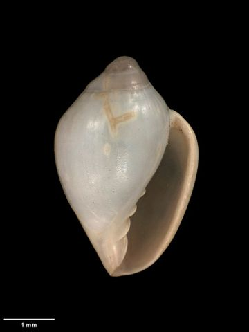 To Museum of New Zealand Te Papa (M.009322; Marginella (Glabella) cracens Dell, 1956; holotype)