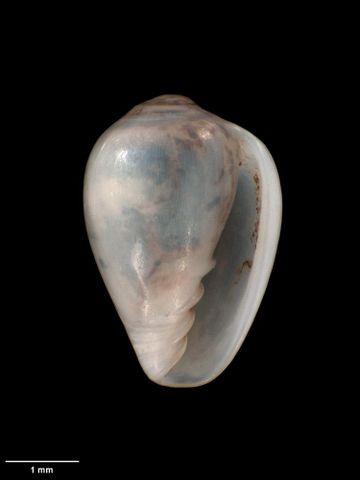To Museum of New Zealand Te Papa (M.005673; Marginella (Glabella) ergastula Dell, 1953; holotype)
