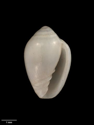 To Museum of New Zealand Te Papa (M.009320; Marginella (Glabella) otagoensis Dell, 1956; holotype)