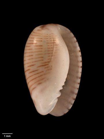 To Museum of New Zealand Te Papa (M.001053; Marginella vittata Hutton, 1873; holotype)