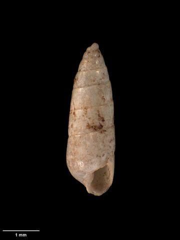 To Museum of New Zealand Te Papa (M.001777; Odostomia fastigiata Suter, 1907; holotype)