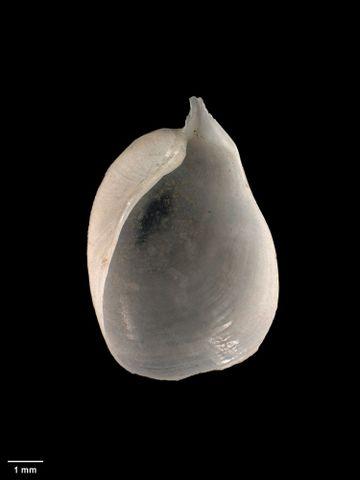 To Museum of New Zealand Te Papa (M.007970; Philine powelli Rudman, 1970; holotype)