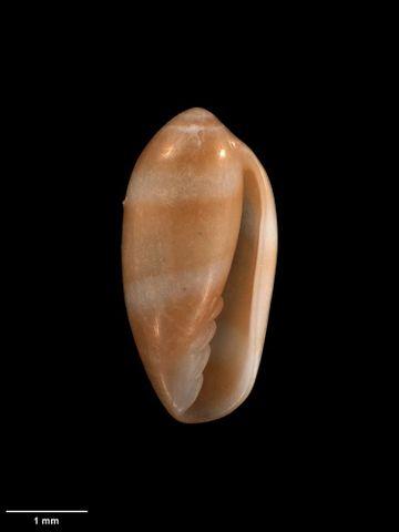 To Museum of New Zealand Te Papa (M.272600; Serrata raoulica B. Marshall, 2004; holotype)