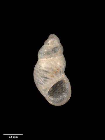 To Museum of New Zealand Te Papa (M.001678; Subonoba delicatula Powell, 1933; holotype)