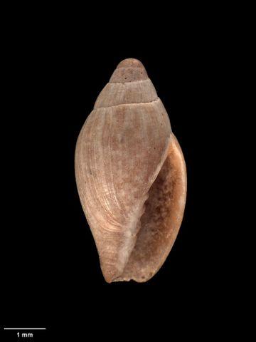 To Museum of New Zealand Te Papa (M.001737; Vulpecula (Pusia) hedleyi Murdoch, 1905; holotype)