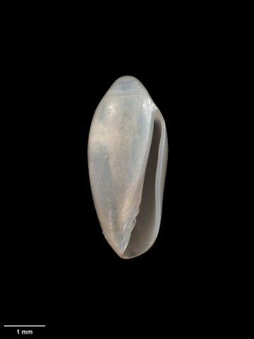 To Museum of New Zealand Te Papa (M.273219; Volvarina nealei Wakefield & McCleery, 2004; holotype)