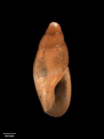 To Museum of New Zealand Te Papa (M.005978; Zemitrella whangaroaensis Dell, 1956; holotype)