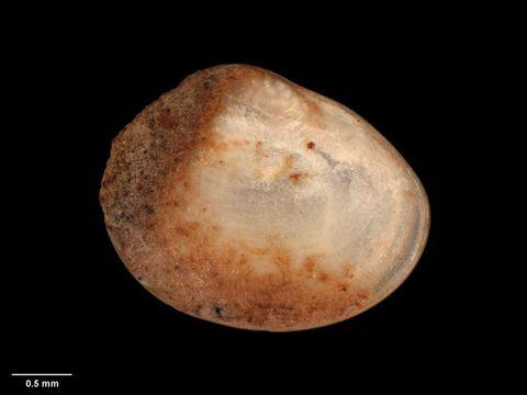 To Museum of New Zealand Te Papa (M.018471; Corneocyclas hodgkini Suter, 1905; lectotype)